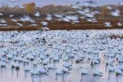 Snow geese (anser caerulescens atlanticus, chen caerulescens) before sunrise, Stock Photos