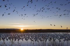 Snow geese (anser caerulescens atlanticus, chen caerulescens) flying at sunri Stock Photos