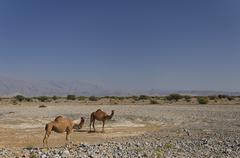 Two dromedaries (camelus dromedarius) by the roadside, road to nizwa, oman, m Stock Photos