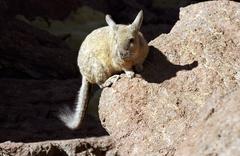 Plains viscacha (lagostomus maximus), reserva nacional de fauna andina eduard Stock Photos