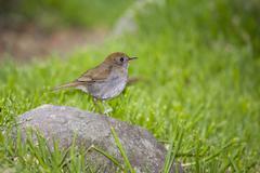 Ruddy-capped nightingale-thrush (catharus frantzii), cerro de la muerte, cost Stock Photos