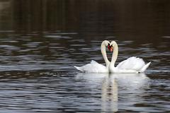 mute swans (cygnus olor), form a heart with their necks - stock photo