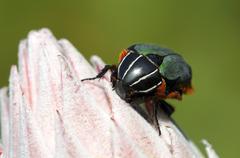 Green protea beetle (trichostetha fascicularis), cape floral kingdom, south a Stock Photos