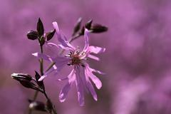blossom of a ragged robin (lychnis flos-cuculi) - stock photo