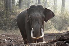 asian, asiatic or indian elephant (elephas maximus), male, rajiv gandhi natio - stock photo