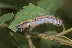Chocolate-tip (clostera curtula), caterpillar in aspen tree Stock Photos
