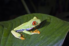 gaudy leaf frog, redeyed tree frog (agalychnis callidryas), rainforest, costa - stock photo