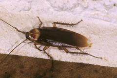 American cockroach (periplaneta americana), in a hotel room on crete island,  Stock Photos