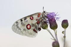 apollo or mountain apollo butterfly (parnassius apollo), eichstaett, bavaria, - stock photo