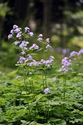 perennial honesty (lunaria rediviva) - stock photo