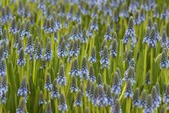 armenian grape hyacinth (muscari armeniacum) - stock photo