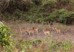 Group of axis deer, chitals (axis axis), long-term exposure, mudumalai nation Stock Photos