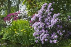 rhododendron blossom in the garden - stock photo