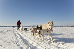 Two leaders, lead dogs, man, musher running, driving a dog sled, team of sled Kuvituskuvat