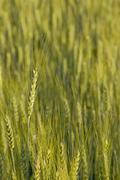 wheat field in the morning light - stock photo
