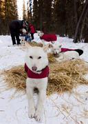 White sled dog with dog coat resting on straw, stake out cable, alaskan husky Stock Photos