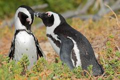 Breeding pair of African penguins Stock Photos