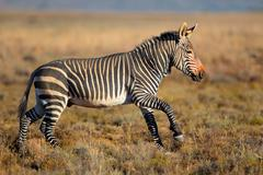 Cape mountain zebra - stock photo