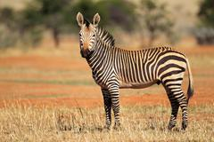 Hartmanns mountain zebra - stock photo