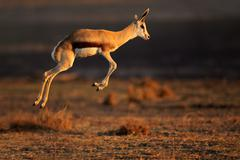 Springbok antelope jumping Stock Photos