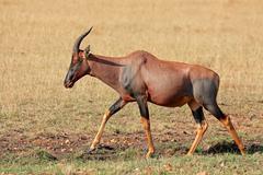 Topi antelope Stock Photos