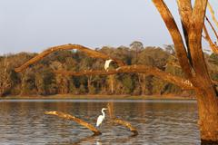 Night heron (nycticorax nycticorax) and great egret (casmerodius albus) on sk Stock Photos
