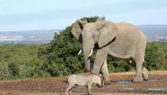 African elephant and warthog, Addo Elephant National Park, South Africa - stock footage