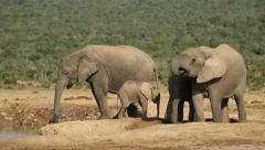 African elephants at waterhole, Addo Elephant National Park, South Africa Stock Footage
