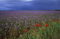 Field with scorpionweed (phacelia), loire valley, centre, france, europe Stock Photos