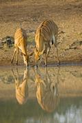 nyala (tragelaphus angasii), mkhuze national park, south africa, africa - stock photo