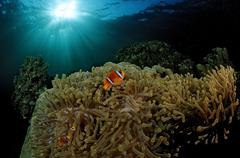 Two-banded anemonefish or red sea clownfish (amphiprion bicinctus), red sea,  Stock Photos