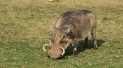 A male warthog with big tusks feeding, Addo Elephant National Park, South Africa Stock Footage