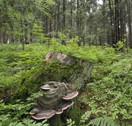 Bracket fungus growing on stump, mala fatra national park, slovakia, europe Stock Photos