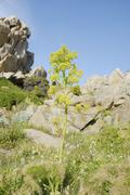 Stock Photo of yellow inflorescence of the giant fennel (ferula communis) in bizarre rock fo