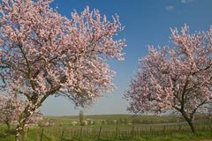 almond blossom in the palatinate, rhineland-palatinate, germany, europe - stock photo