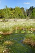 Flooded bog with blooming Hares tail Cottongrass Tussock Cottongrass or - stock photo