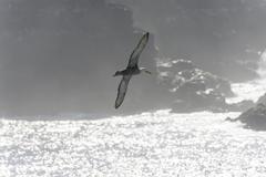 Stock Photo of Waved Albatross or Galapagos Albatross Phoebastria irrorata in flight Isla