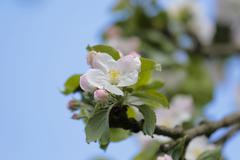 Apple blossoms Apple Tree Malus sp Bergisches Land North Rhine Westphalia Stock Photos