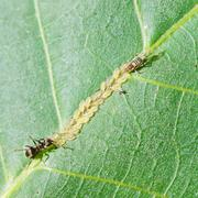 ant tending aphids herd on leaf - stock photo