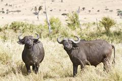 African buffaloes, cape buffaloes (syncerus caffer), masai mara, kenya, afric Stock Photos