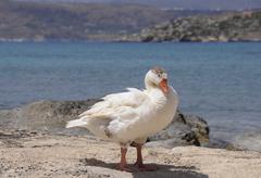 Goose Anserinae standing on the seashore Georgioupolis Crete Greece Europe Stock Photos
