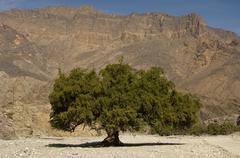 ghaf baum (prosopis cineraria), wadi bani awf, sultanat oman / ghaf tree, (pr - stock photo