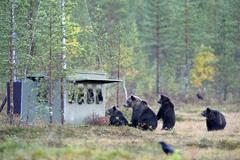 Brown Bears Ursus arctos mother bear with cubs inspecting a photographer hiding Stock Photos