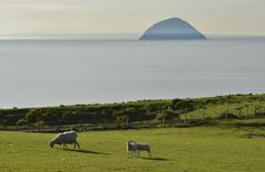 Sheep on a pasture in front of the island of Ailsa Craig Creag Ealasaid Stock Photos