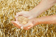 Old man hands hold seeds on wheat field Stock Photos
