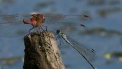 .two dragonflies sit on a branch. Stock Footage