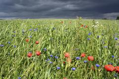 Stock Photo of Grain field with poppy flowers in front of an approaching thunderstorm