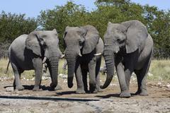 African Bush Elephants Loxodonta africana Etosha National Park Namibia Africa Stock Photos