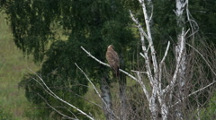 Honey buzzard, pernis apivorus - juvenile Stock Footage