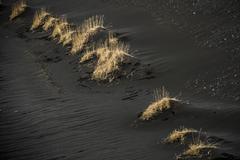 Beach Grass Ammophila sp in black lava sand Skeioararsandur Southern Region Stock Photos